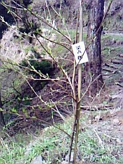 継体天皇ゆかりの山に桜植樹
