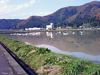 白鳥・鯖江の田んぼで24羽遊ぶ