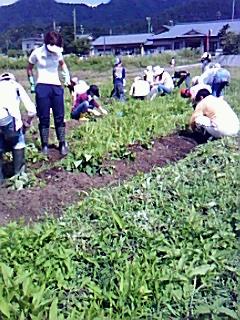 母親クラブ花みずき、サツマイモ畑の草取り