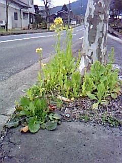 「鯖江なばな」うるしの里の通りも咲き始める