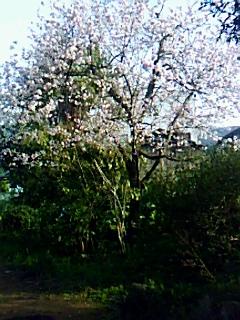 春の光の中、八重桜満開