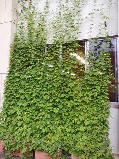 河和田コミセンのグリーンカーテン