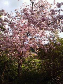 今冬雪折れした庭木、八重桜も満開に
