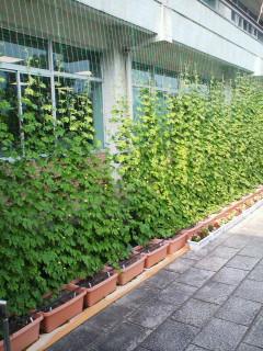 鯖江市役所の省エネ・グリーンカーテン